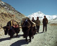 Tibetan Yak herders near Everest