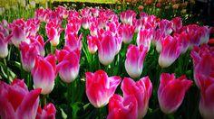 Dívány - Életmód - Ma nyílik a világ legnagyobb tulipánkertje