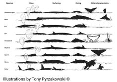 Shoreline Inn... on the beach   February 25, 2017·      Whale Season is here! Here is a chart to help you identifying large whales. What to note when identifying a whale: a quick reference guide.  *Shape of the blow  *Body length; *body colour and patterns  *Presence of a dorsal fin; *size and position   *Shape and size of flippers  *Shape of the head, body; *presence of a beak  *Swimming characteristics