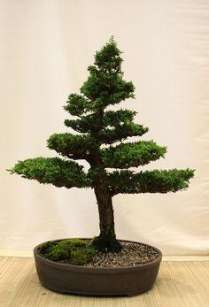 bonsai tree indoor