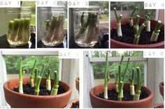 Regrow green onions in just one week: | 16 Foods That You Can Magically Regrow From Scraps