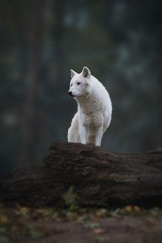 ikwt:  The Lone Wolf (christianmladik) |instagram