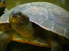 A giant Amazon river turtle (Podocnemis expansa). Photo by Whaldener Endo.