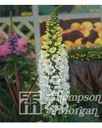 """FINGERBØL """"SNOWY MOUNTAIN"""". FINGERBØL.  Digitalis Purpurea.Efter succes'en med har blomsteravlerne nu fremelsket denne smukke hvide udgave, også med opadrettede ' fingerbøller ' på robuste stængler. 2 årig sommerblomst. 90 - 140 cm. Blomstrer/høstes fra juni året efter såning. Trives i de fleste jordtyper i sol og halvskygge. overfladesåning , hold frøene fugtige under spiringen. Spirer efter 15-30 dage"""