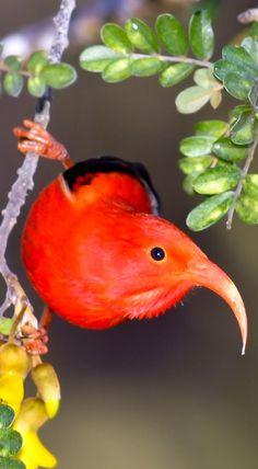 Liwi or the Hawaiian Honey Creeper bird / Endangered. I Like Birds, Birds 2, Pretty Birds, Small Birds, Colorful Birds, Birds Of Prey, Beautiful Birds, Animals Beautiful, Cute Animals
