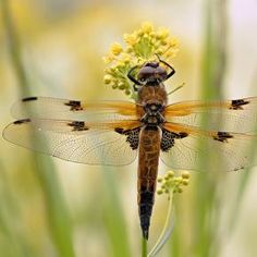 Dragonfly by MoreMore