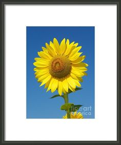 923 D736 Have A Happy Day Sunflower On Colby Farm Newbury Massachusetts Framed Print By Robin Lee Mccarthy Photography