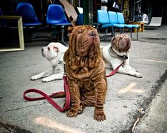 """Awesome photo by Nicholas Breslow called """"3 Kings"""" (Shar-pei)"""