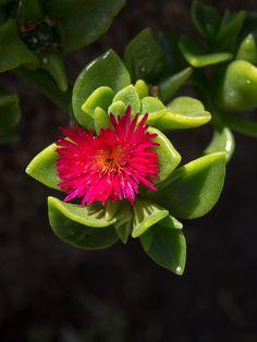 Flower - La Gomera
