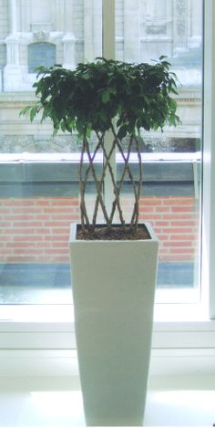 Openplaited Ficus offset by the simple white floorstanding container. Silk Plants, Office Plants, Ficus, Indoor Garden, Planting, Garden Design, Bamboo, Planter Pots, Container
