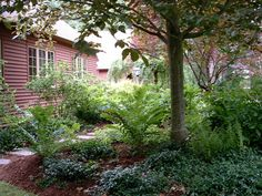 Notice how the fern glade and vinca grows into a lush cover, filling out over the mulch beneath the copper beech.
