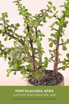 """Elephant Bush"" is a large succulent with woody stems. Portulacaria afra ""Elephant Bush"" is a large, bushing succulent with woody stems that can grow to incredible heights when given the proper time, How To Water Succulents, Types Of Succulents, Hanging Succulents, Growing Succulents, Cacti And Succulents, Succulent Names, Succulent Landscaping, Propagating Succulents, Succulent Gardening"