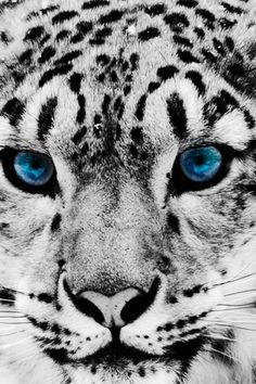 Tijger in zwart/wit met blauwe ogen