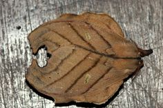 Leaf moth from Brazil