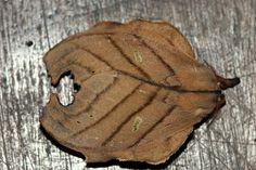 Leaf moth from Brazil