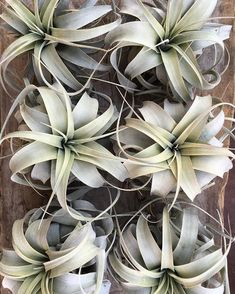 Xerographica airplants have the most beautiful structure and color. They can also handle more dry conditions, which is perfect for our… Air Plants, Indoor Plants, Bountiful Garden, Dry Desert, 10th Wedding Anniversary, Inside Plants, Plant Design, Garden Spaces, Houseplants