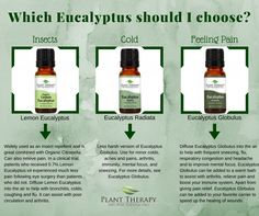 Which Eucalyptus should you choose?