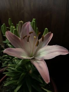 My first lily bloom #gardening #garden #DIY #home #flowers #roses #nature #landscaping #horticulture