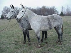 Another team of dapple gray mare mules. NEED.