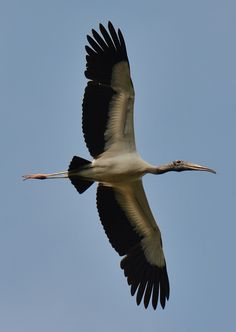 A wood stork soars overhead at Caw Caw Interpretive Center in Ravenel, South Carolina.