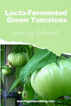 Wondering how to preserve green tomatoes from your garden? This recipe for fermented green tomatoes will both preserve them and add a probiotic boost! #lactofermentation #fermentation #recipe #tomatoes #greentomatoes #preservingtheharvest #natural #homesteading #realfood #garden Fermented Foods, Natural Life, Natural Living, Preserving Tomatoes, Green Tomato Recipes, Green Tomatoes, Grow Your Own Food, Real Food Recipes