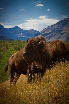 Olson High Country Bison Ranch, by CantStopDreaming. I just love this photo - its composition is perfect. - Ronni