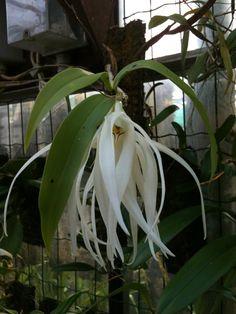 Dendrobium amboinense Hook. (1856)