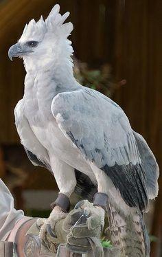 Nohemi A: Google+ The Harpy Eagle Águila harpía o simplemente harpía (Harpia harpyja). Familia: Accipitridae  Es el águila más grande del Hemisferio Occidental y del Hemisferio Austral, y la única especie del género Harpia Es la rapaz más poderosa; las dimensiones promedio de la hembra del águila harpía son 100 cm de largo, 200 cm de envergadura