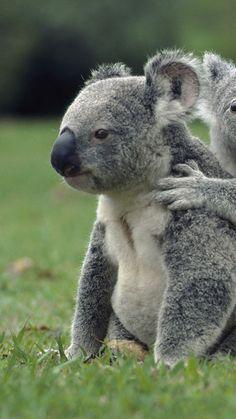 r koalas, grass, sit, family