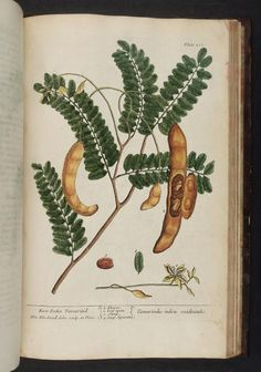 Tamarind. A curious herbal 1737 v. 1 #1010 London :Printed for Samuel Harding,1737-1739. Biodiversitylibrary. Biodivlibrary. BHL. Biodiversity Heritage Library