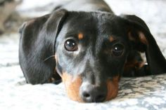 .The Look. doxie