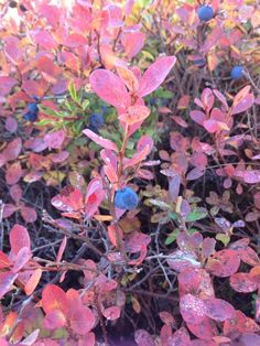 Blueberry leaves turning scarlet Arctic, Scarlet, Turning, Blueberry, Leaves, Plants, Berry, Planters, Scarlet Witch