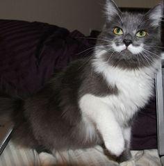 Hamilton the Hipster cat. <3 that moustache!