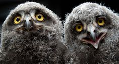 Two young Snowy Owls sit next to each other at the Zoo in Hannover, Germany, on July 12, 2013. (Photo by Jochen Luebke/Dpa)
