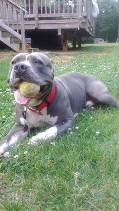 #pitbulls #dogs
