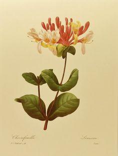 Vintage Italian Honeysuckle Redoute Flower Print, Botanical Illustration (For You To Frame) 9 x 12 Book Plate No. 21. $5.00, via Etsy.