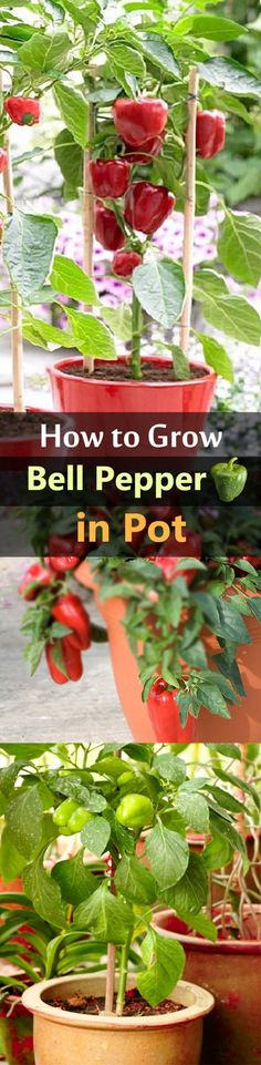 Growing Bell Peppers in Pots | How to Grow Bell Peppers in Containers & Care