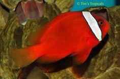 I like his face stripe. Life Under The Sea, Crab And Lobster, Marine Fish, Beautiful Ocean, Sea World, Tropical Fish, Ocean Life, Aquarium Fish, Underwater
