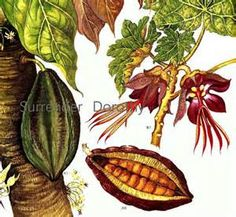 cacao flowers - - Yahoo Image Search Results