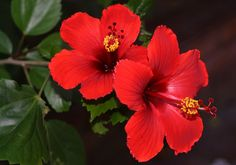 Hibiscus is one of the best herbs for hair. Hibiscus for hair, generates bald patches. Hibiscus Rosa Sinensis, Hibiscus Rose, Rosa China, Growing Hibiscus, Herbs For Hair, Organic Hair Color, Comment Planter, Ayurvedic Herbs, Gum Paste Flowers