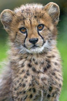 Portrait of an adorable cheetah cub (by Tambako the Jaguar)