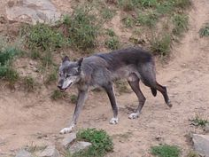 Wolf, Zoo Hannover