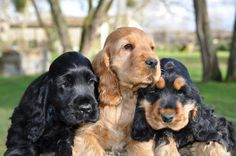 #english #cocker #spaniel #puppies