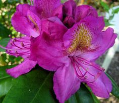 Rhododendron 'Royal Purple'