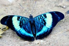 A Beautiful Blue Butterfly [Now, say that three times quickly! Beautiful Bugs, Beautiful Butterflies, Amazing Nature, Beautiful Creatures, Animals Beautiful, Cute Animals, Small Animals, Flying Insects, Bugs And Insects
