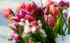 My favorite flowers are the tulips. These lovely Winter tulips give one a sense that Spring has sprung. Fruit Flowers, Tulips Flowers, 1920x1200 Wallpaper, Wallpapers, Bouquet Holder, Flower Sleeve, Spring Is Coming, Tree Leaves, Mother Nature