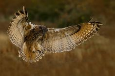 Photograph Eagle Owl by Barrie Glover on Animals And Pets, Cute Animals, Owl Photos, Beautiful Owl, Horned Owl, Wise Owl, Birds Of Prey, Raptors, Bird Art