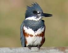 belted kingfisher - Bing Images