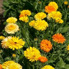 Famous calendula grows to only 2 ft with orange to yellow blooms in mid-season. For the front of a meadow. Annual.