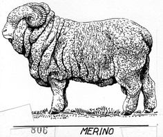 Résultats de recherche d'images pour «merino sheep explanation»